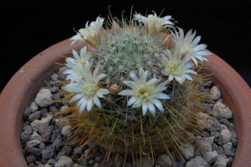 Mammillaria gilensis 8029-211
