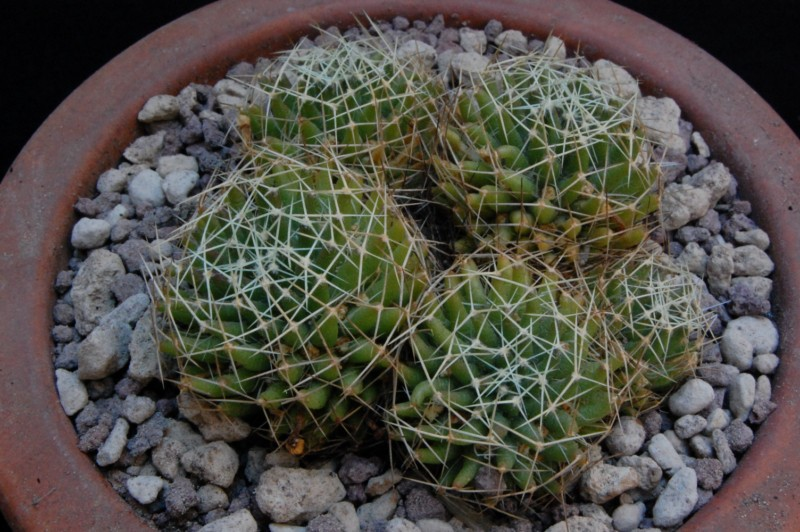 Mammillaria decipiens 8068-211