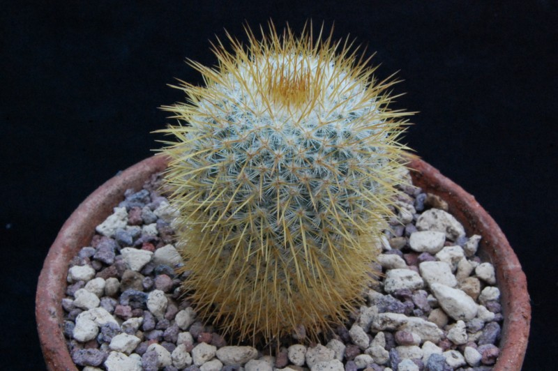 Mammillaria flavicentra 8118-210
