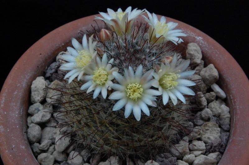Mammillaria seideliana 8358-211