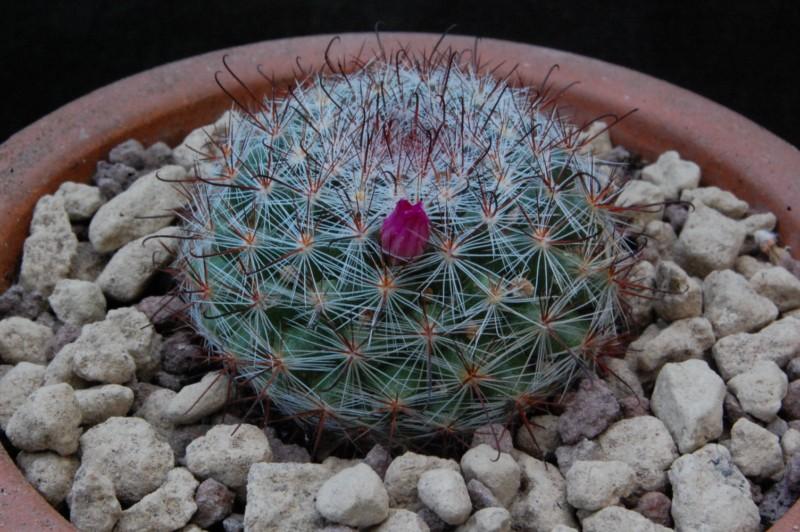 Mammillaria berkiana 8611-210