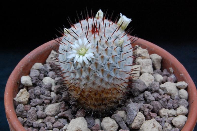 Mammillaria perezdelarosae 8616-211