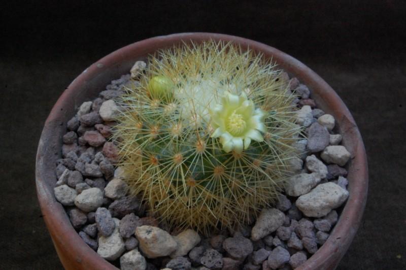 Mammillaria mieheana 8619-211