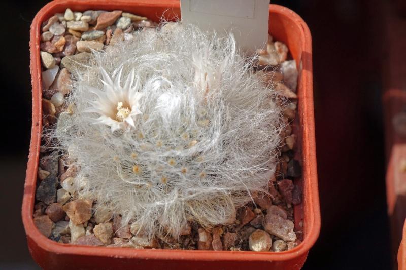 Mammillaria albicoma Albico10