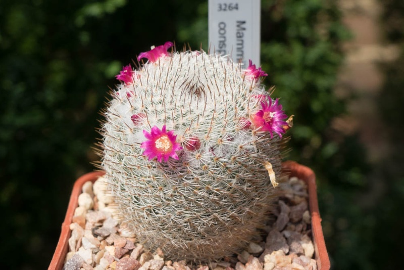 Mammillaria albidula Albidu10