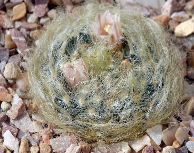 Mammillaria aureilanata      Aureil10