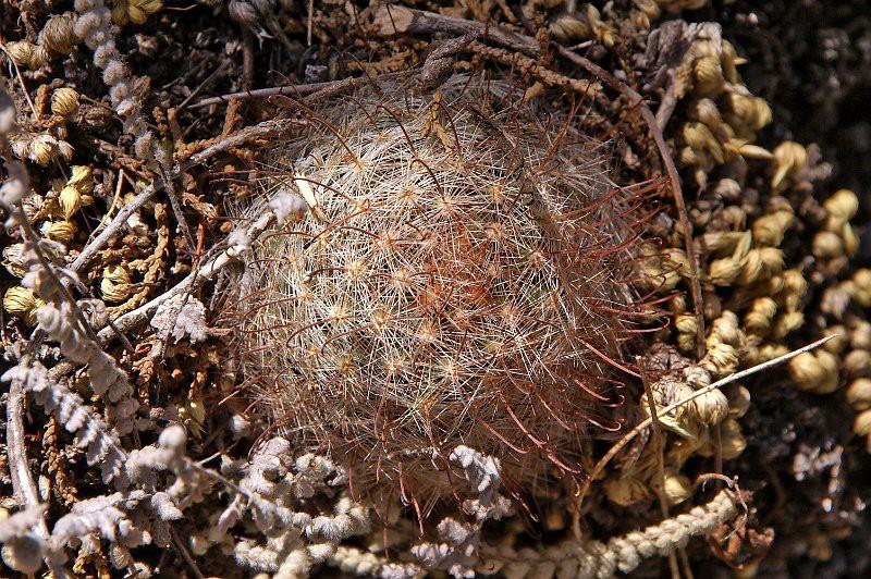Mammillaria barbata Barbat11