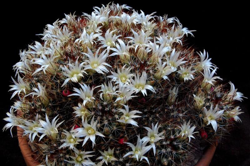 Mammillaria picta Bz43_b10
