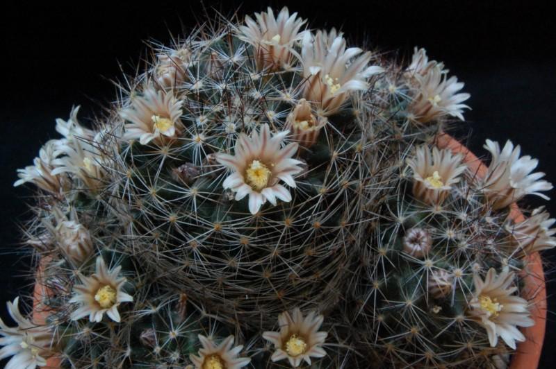 Mammillaria picta Bz_29_10