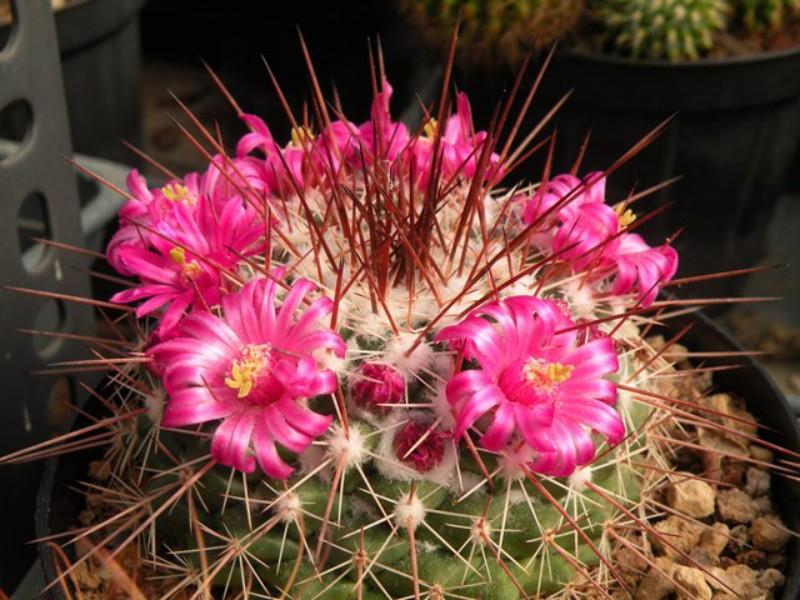 Mammillaria floresii Flores11