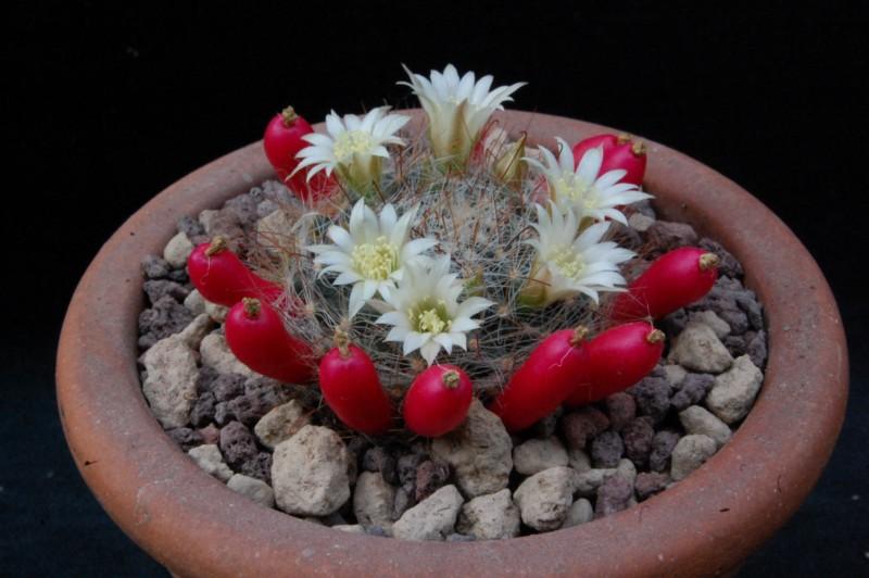 Mammillaria moeller-valdeziana Mammil26