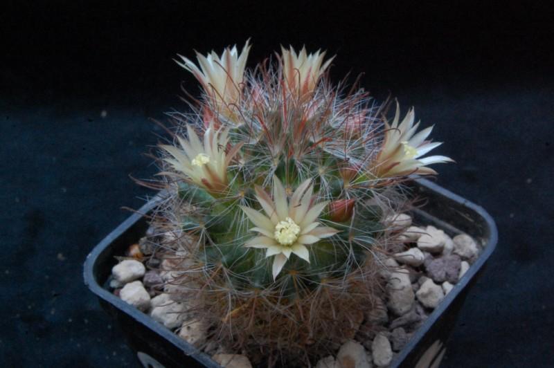 Mammillaria pubispina Pubisp14