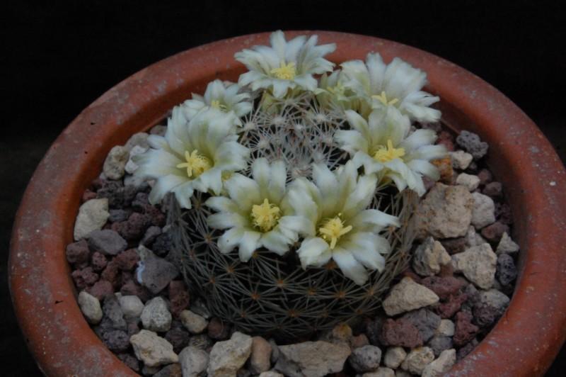 Mammillaria picta Rog_3110