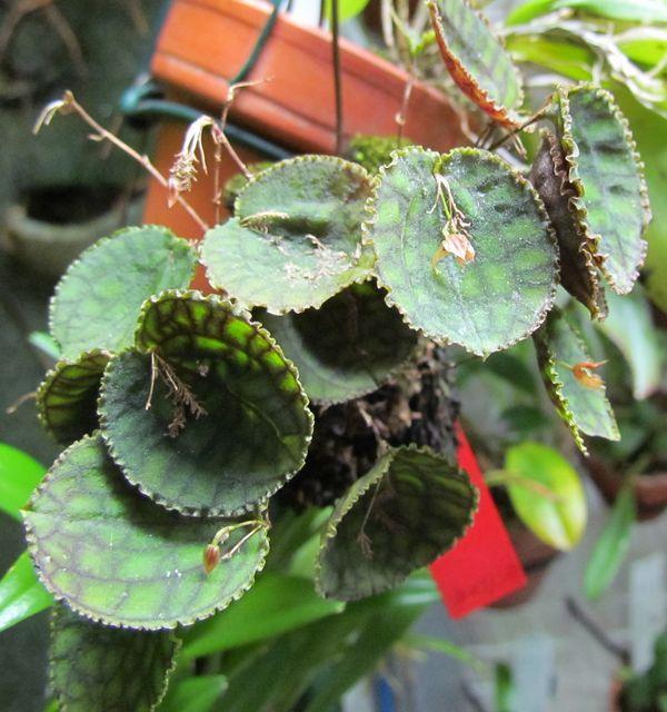Lepanthes calodictyon Img_4121