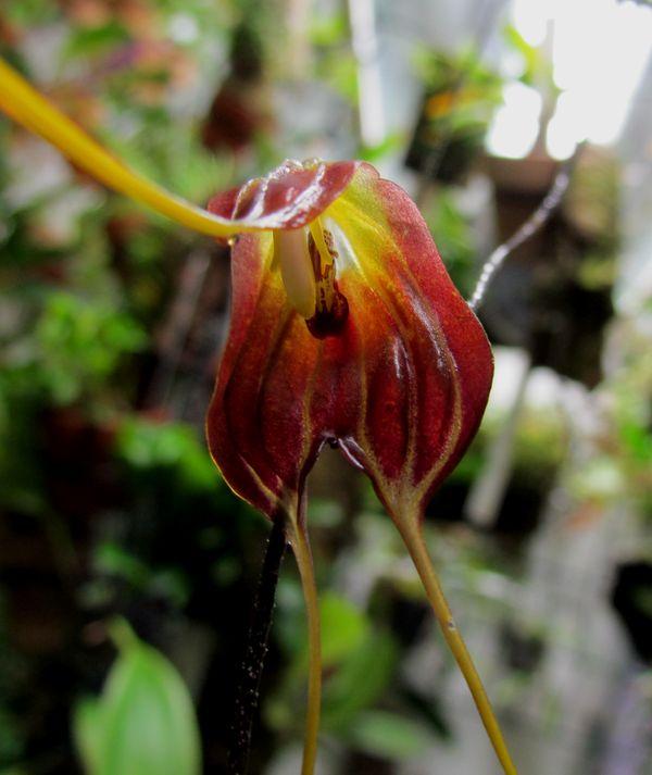 Masdevallia bicornis  Img_4133