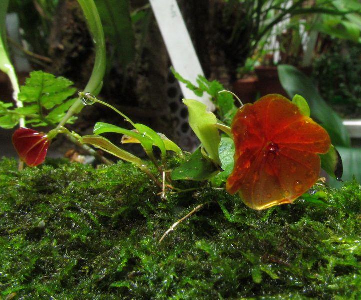 Lepanthes telipogoniflora Img_4230