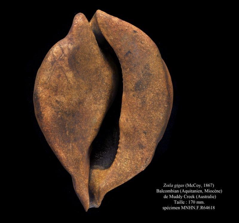 Cypraeidae - † A revision of the Australian fossil species of Zoila Zoila-10
