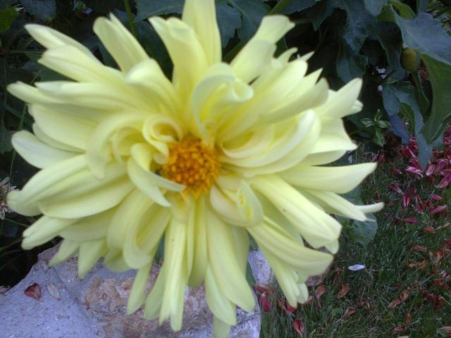 Le ballet jaune !!! - Page 2 Dalhia11