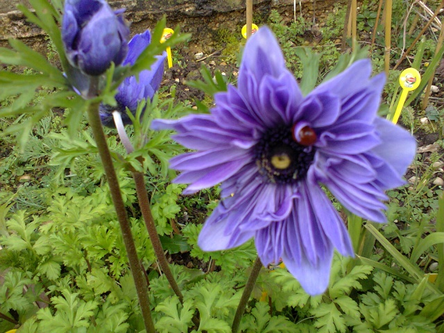 Blue..........bleu !!! - Page 3 Fleurs10
