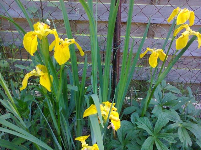 Le ballet jaune !!! - Page 2 Iris_j10