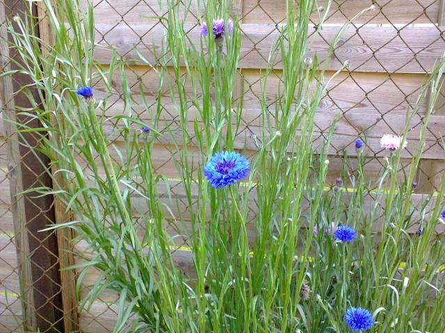 Blue..........bleu !!! - Page 4 Photo115