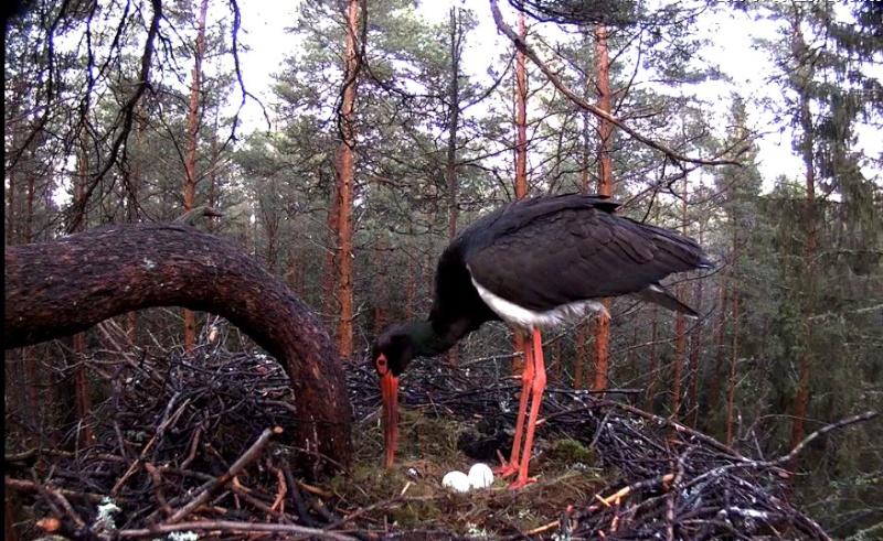 Black Stork cam 2016 2016-013