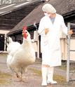 L'industrie génétique d'élevage va + loin dans l'horreur :( Poule_10