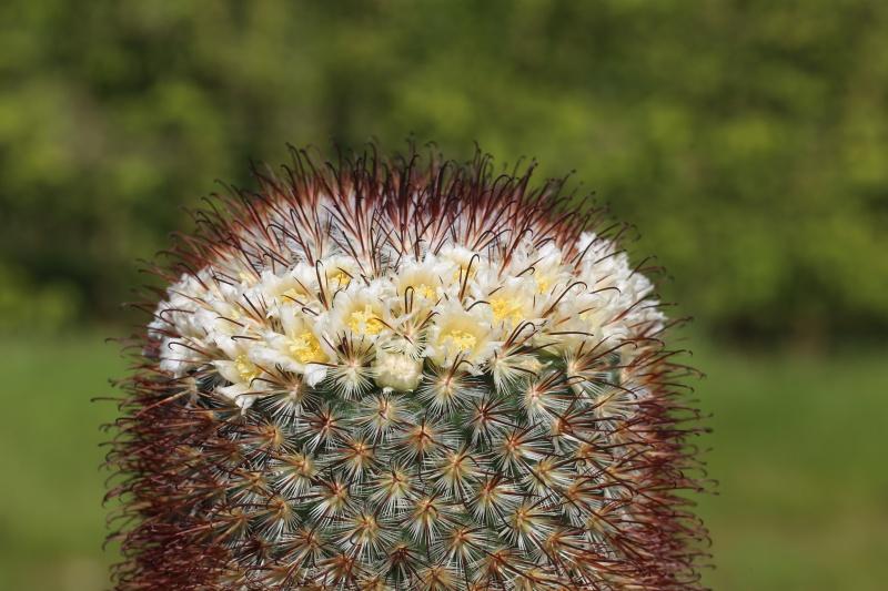 ID Mammillaria please. Img_0010