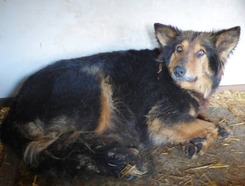 ORGANZA, femelle croisée berger allemand âgée taille moyenne née environ 2002 (Pascani)- REMEMBER ME LAND - En FALD chez lakota03 (03)-Decedee 11240010