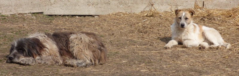 NEMO, mâle âgé type berger mioritic, grande taille environ 40kg, calme  (Pascani)- REMEMBER ME LAND - adopté par André et Nathalie (Belgique)- décédé  12909510