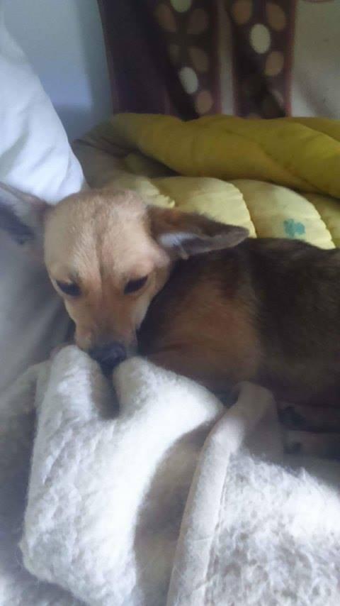 TINY, femelle mini sociable croisée teckel - adoptée par Sandrine (67) 13181011
