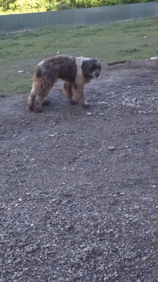NEMO, mâle âgé type berger mioritic, grande taille environ 40kg, calme  (Pascani)- REMEMBER ME LAND - adopté par André et Nathalie (Belgique)- décédé  13219510
