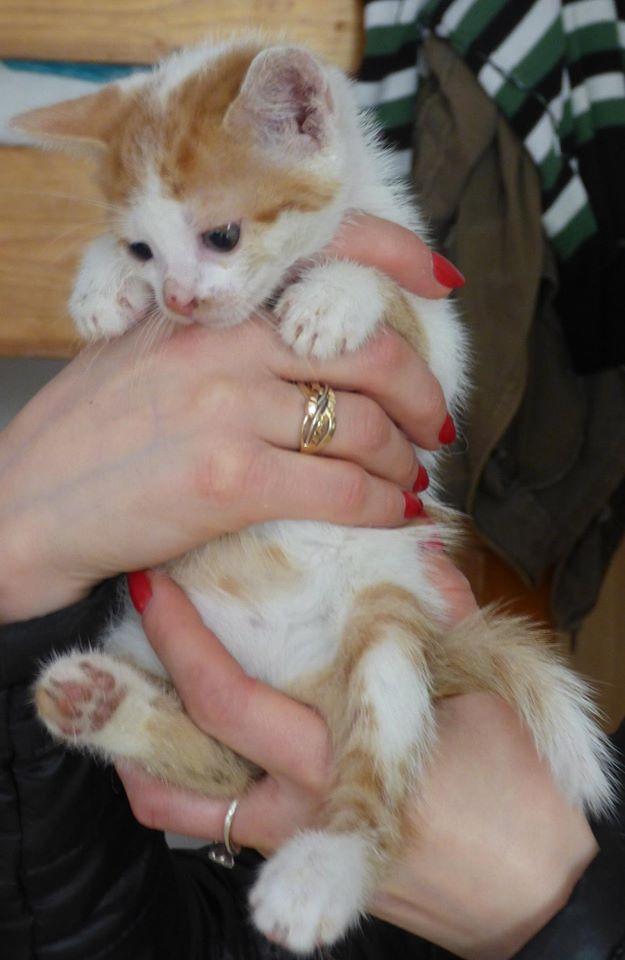 MITSY ( ex SATINE), chaton femelle née en mars 2016 - Pascani - adoptée par Abysse (dpt92) - PARTIE REJOINDRE LES ETOILES le 3 juillet 2017 .... 13247810