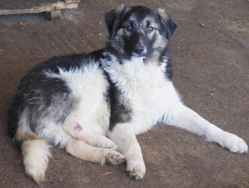 SHAGGY, chiot mâle, né en août 2015 (Pascani) - adopté par Sabine (Belgique) 98071210
