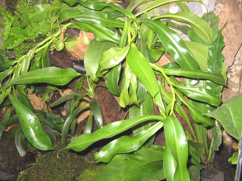 J'essaie de trouver le nom de cette plante mais en vain. Nepent10