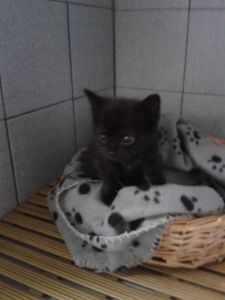 2 chatons noirs, 3 et 2 mois, Var  Chaton11