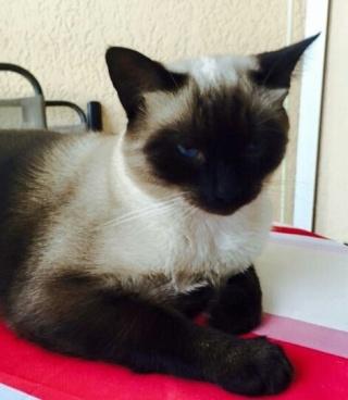 Chat Siamois, mâle, 2 ans 1/2, Var Figaro11