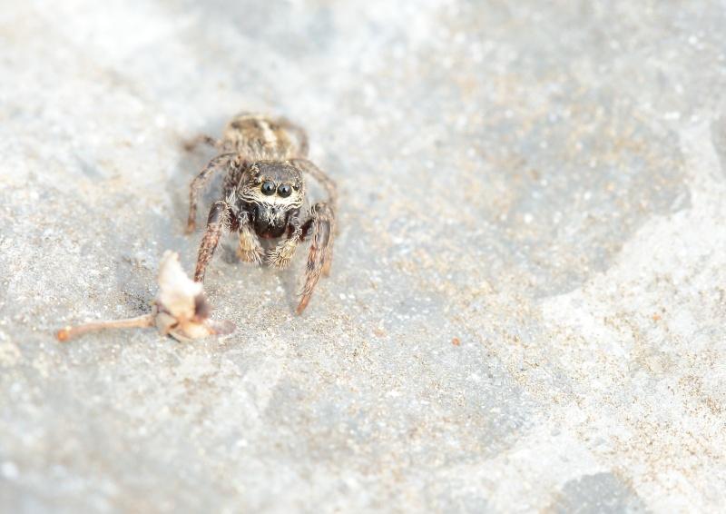 Salticidae pour identification, svp 9g2a1410