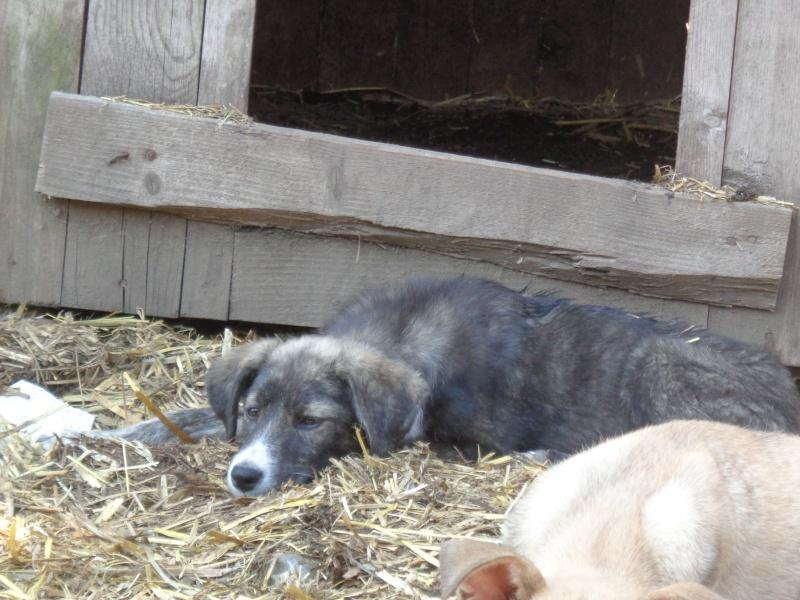 OFELIA -femelle sauvée de pallady - née en Février 2016 - marrainée par Connecticut -SOS-SC-R- 08510