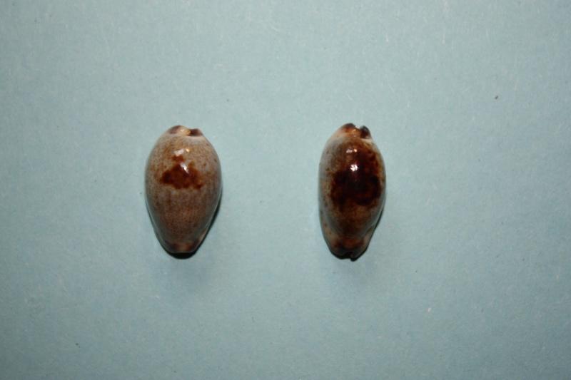 Purpuradusta gracilis macula - (Angas, 1867) Cyprae10
