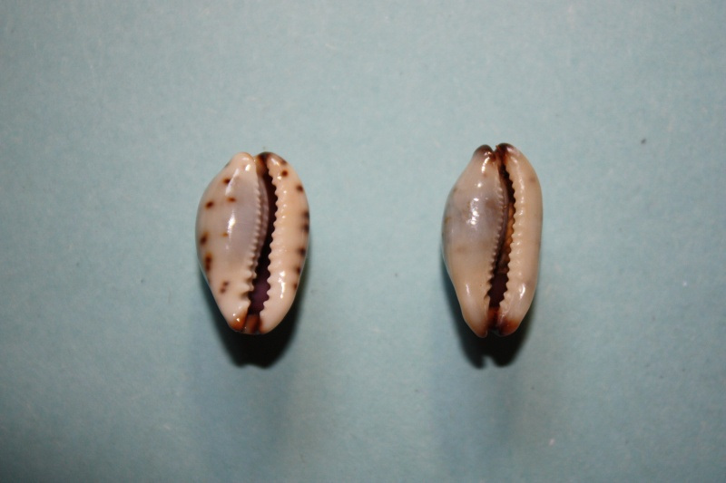 Purpuradusta gracilis macula - (Angas, 1867) Cyprae11