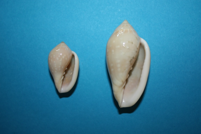 Marginella pseudosebastiani - Mattavelli, 2001 Img_6437
