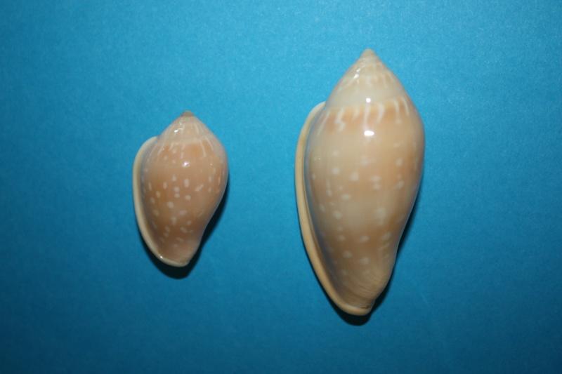 Marginella pseudosebastiani - Mattavelli, 2001 Img_6438