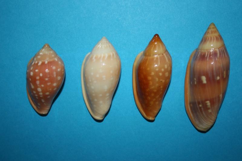 Marginella pseudosebastiani - Mattavelli, 2001 Img_6441