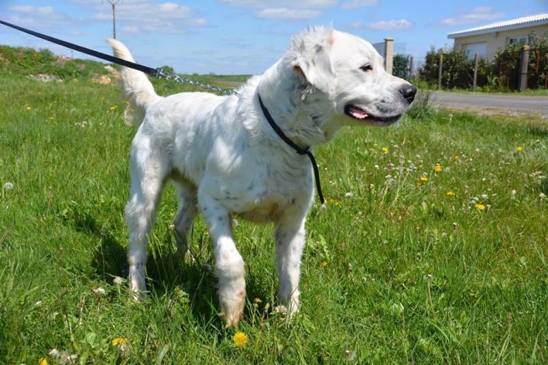 MONZON chien croisé dogue /retriever 6 ans -  Asso Orfee en pension dept 79 13055310
