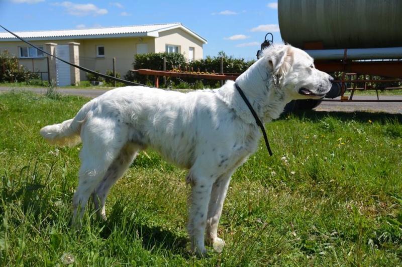 MONZON chien croisé dogue /retriever 6 ans -  Asso Orfee en pension dept 79 13055412