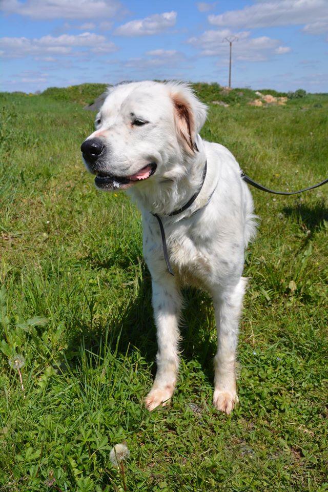 MONZON chien croisé dogue /retriever 6 ans -  Asso Orfee en pension dept 79 13063411