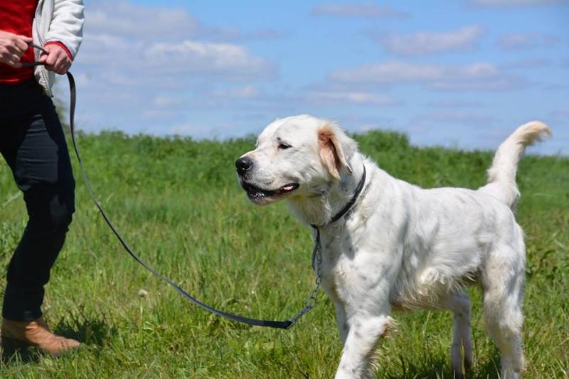 MONZON chien croisé dogue /retriever 6 ans -  Asso Orfee en pension dept 79 13096211