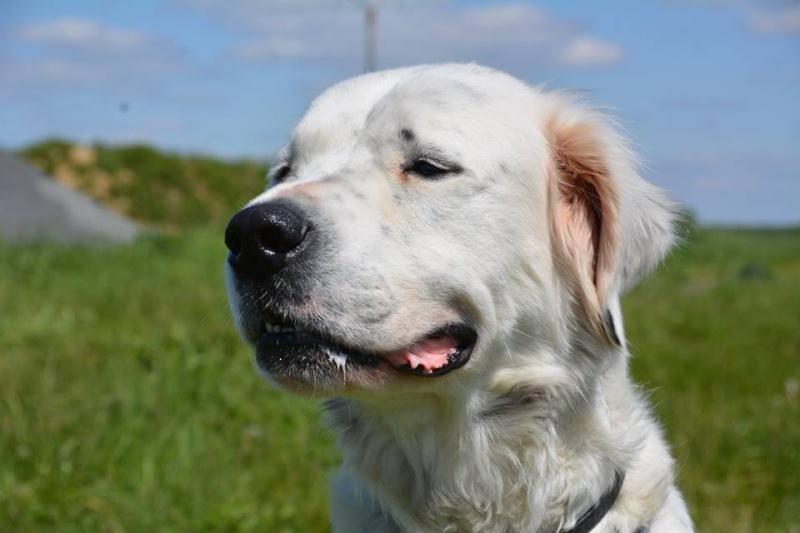 MONZON chien croisé dogue /retriever 6 ans -  Asso Orfee en pension dept 79 13124510