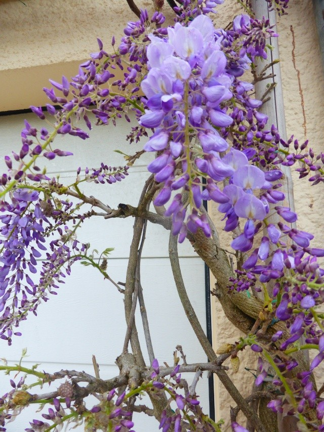 Wisteria - les glycines  - Page 5 14-04-11